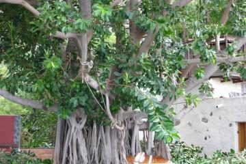 Galerie: Gummibaum 2009 Treecutting 090001 Finca Argayall (La Gomera)