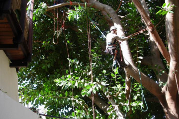 Galerie: Gummibaum 2009 Treecutting 090005 Finca Argayall (La Gomera)