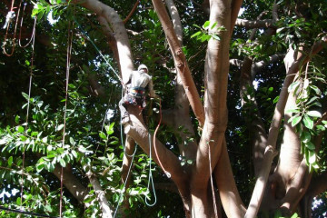 Galerie: Gummibaum 2009 Treecutting 090006 Finca Argayall (La Gomera)