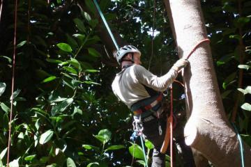 Galerie: Gummibaum 2009 Treecutting 090008 Finca Argayall (La Gomera)