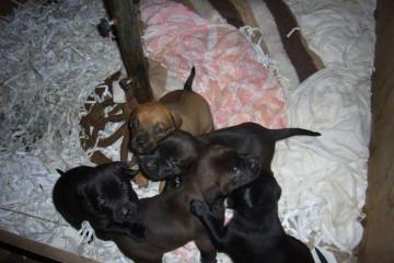 Gallery: Stella puppies stella puppies 2010 0002 Finca Argayall (La Gomera)