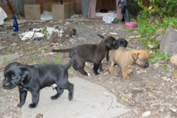 Gallery: Stella puppies stella puppies 2010 0015 Finca Argayall (La Gomera)