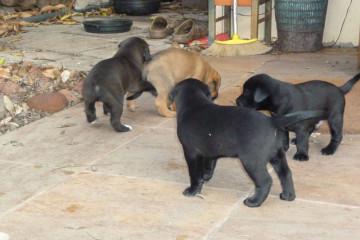 Gallery: Stella puppies stella puppies 2010 0020 Finca Argayall (La Gomera)