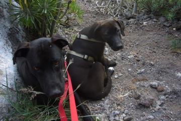 Gallery: Stella puppies stella puppies 2010 0040 1 Finca Argayall (La Gomera)