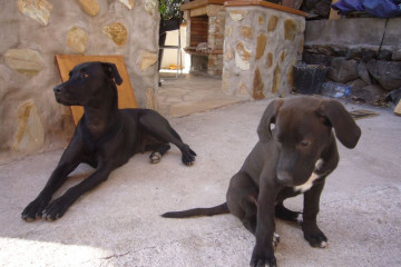 Gallery: Stella puppies stella puppies 2010 0049 1 Finca Argayall (La Gomera)
