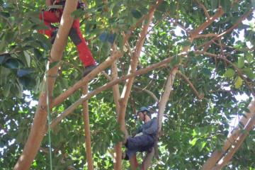 Gallery: Rubbertree 2012 treecutting 12 02 1 Finca Argayall (La Gomera)