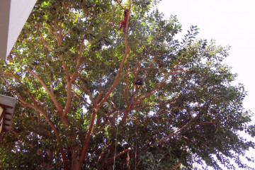 Galerie Gummibaum 2012 treecutting 12 05 1 Finca Argayall (La Gomera)