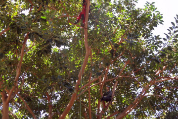 Galerie Gummibaum 2012 treecutting 12 06 1 Finca Argayall (La Gomera)