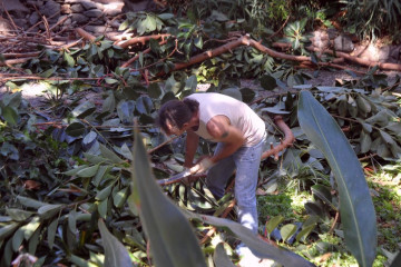 Gallery: Rubbertree 2012 treecutting 12 08 1 Finca Argayall (La Gomera)