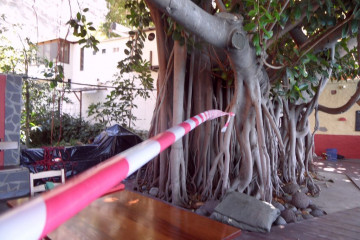 Gallery: Rubbertree 2012 treecutting 12 09 1 Finca Argayall (La Gomera)