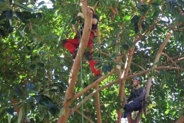 Gallery: Rubbertree 2012 treecutting 12 1 Finca Argayall (La Gomera)