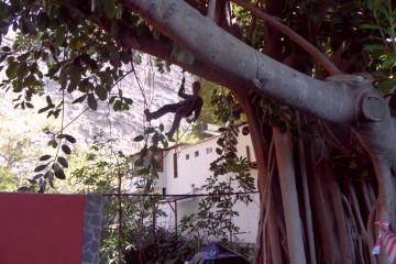 Gallery: Rubbertree 2012 treecutting 12 10 1 Finca Argayall (La Gomera)