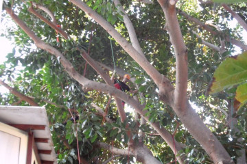 Gallery: Rubbertree 2012 treecutting 12 14 1 Finca Argayall (La Gomera)