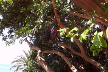 Gallery: Rubbertree 2012 treecutting 12 15 1 Finca Argayall (La Gomera)