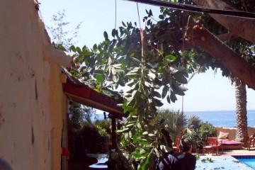 Gallery: Rubbertree 2012 treecutting 12 18 1 Finca Argayall (La Gomera)