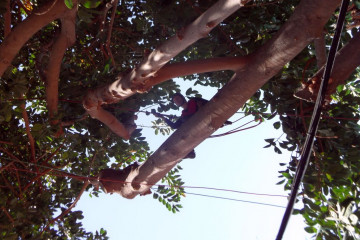 Gallery: Rubbertree 2012 treecutting 12 19 1 Finca Argayall (La Gomera)