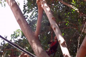 Gallery: Rubbertree 2012 treecutting 12 20 1 Finca Argayall (La Gomera)