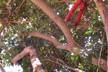 Gallery: Rubbertree 2012 treecutting 12 21 1 Finca Argayall (La Gomera)