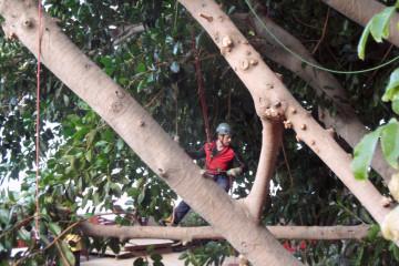 Gallery: Rubbertree 2012 treecutting 12 23 1 Finca Argayall (La Gomera)