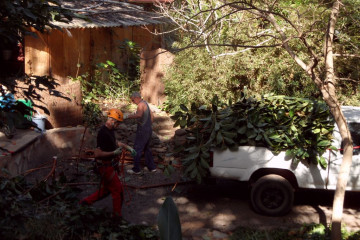 Gallery: Rubbertree 2012 treecutting 12 24 1 Finca Argayall (La Gomera)
