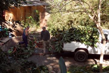 Gallery: Rubbertree 2012 treecutting 12 25 1 Finca Argayall (La Gomera)