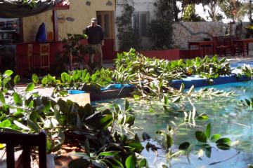 Gallery: Rubbertree 2012 treecutting 12 26 1 Finca Argayall (La Gomera)