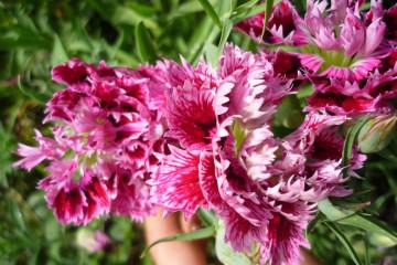 Gallery: Variety 2012 flowers 12 31 1 Finca Argayall (La Gomera)