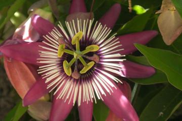 Fülle 2012 flowers 12 39 1 Finca Argayall (La Gomera)