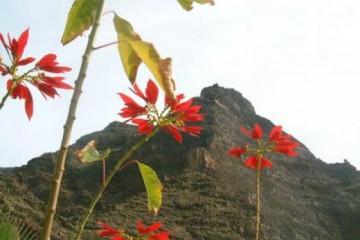 Galerie: Permakultur Vielfalt 2004 garden christmasstar1 20031220 Finca Argayall (La Gomera)