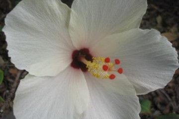 Galerie: Permakultur Vielfalt 2004 garden hibiscus02 20040702 Finca Argayall (La Gomera)