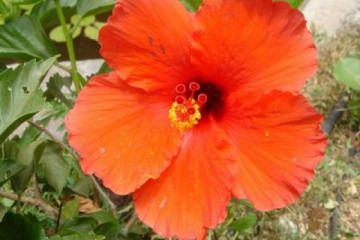 Galerie: Permakultur Vielfalt 2004 garden hibiskus01 20040720 Finca Argayall (La Gomera)