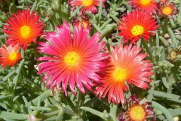Galerie: Permakultur Vielfalt 2004 garden mittagsblume01 20040902 Finca Argayall (La Gomera)