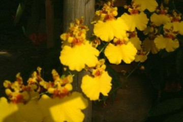 Galerie: Permakultur Vielfalt 2004 garden orchidee01 20030821 Finca Argayall (La Gomera)
