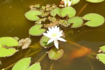 Galerie: Permakultur Vielfalt 2004 garden whitelotus01 20040702 Finca Argayall (La Gomera)