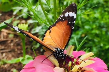 Galerie: Covid Zeiten butterfly1800x1200 Finca Argayall (La Gomera)